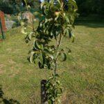 Community Orchard pear tree